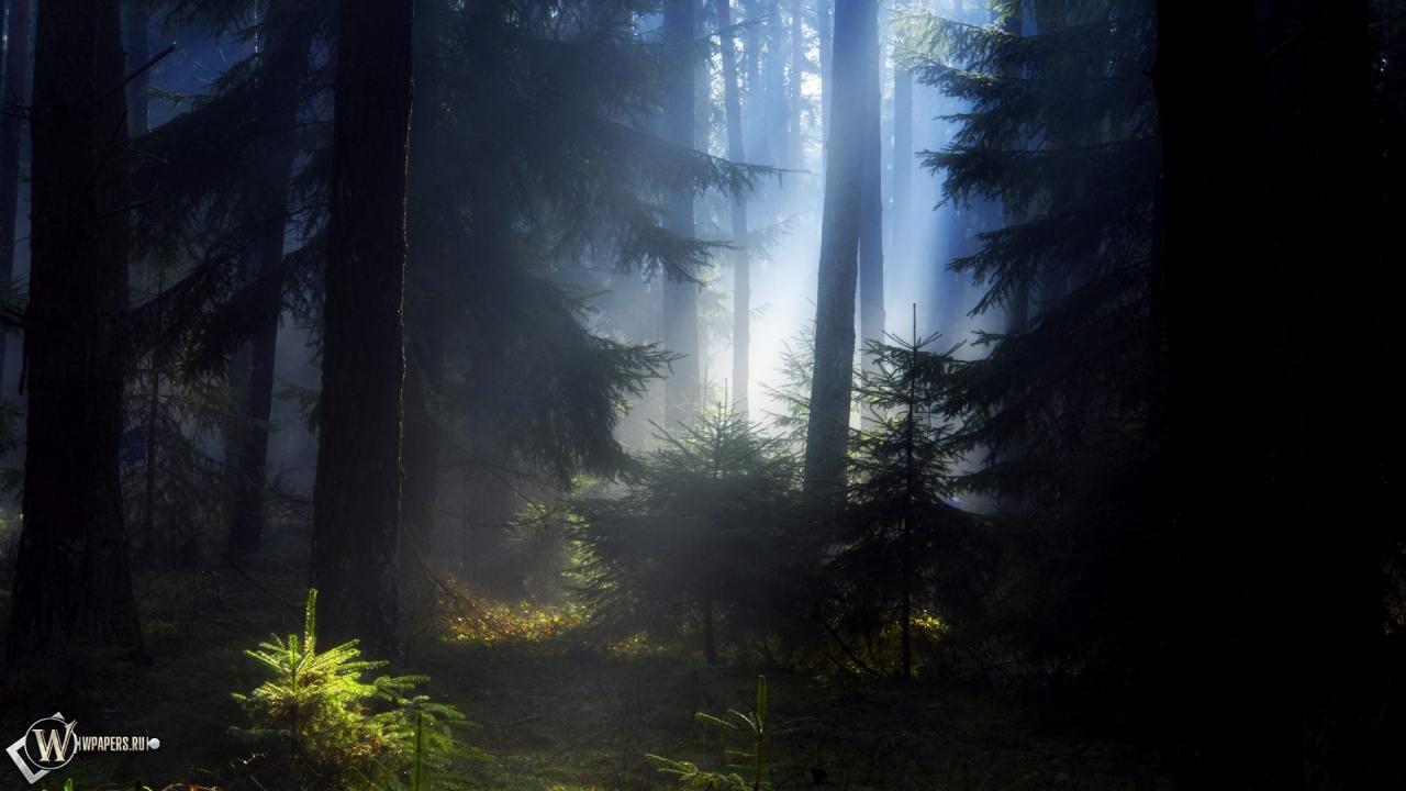 Еловый лес 1280x720