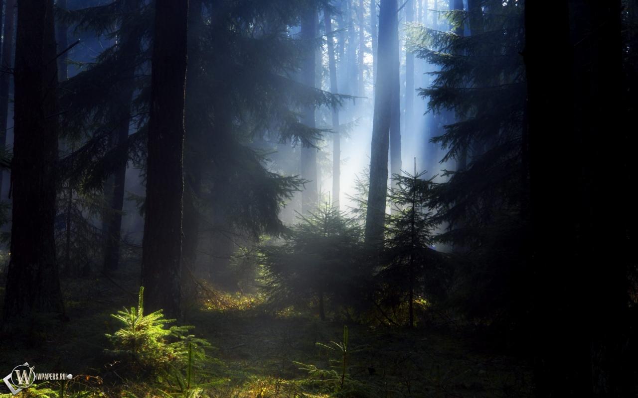 Еловый лес 1280x800