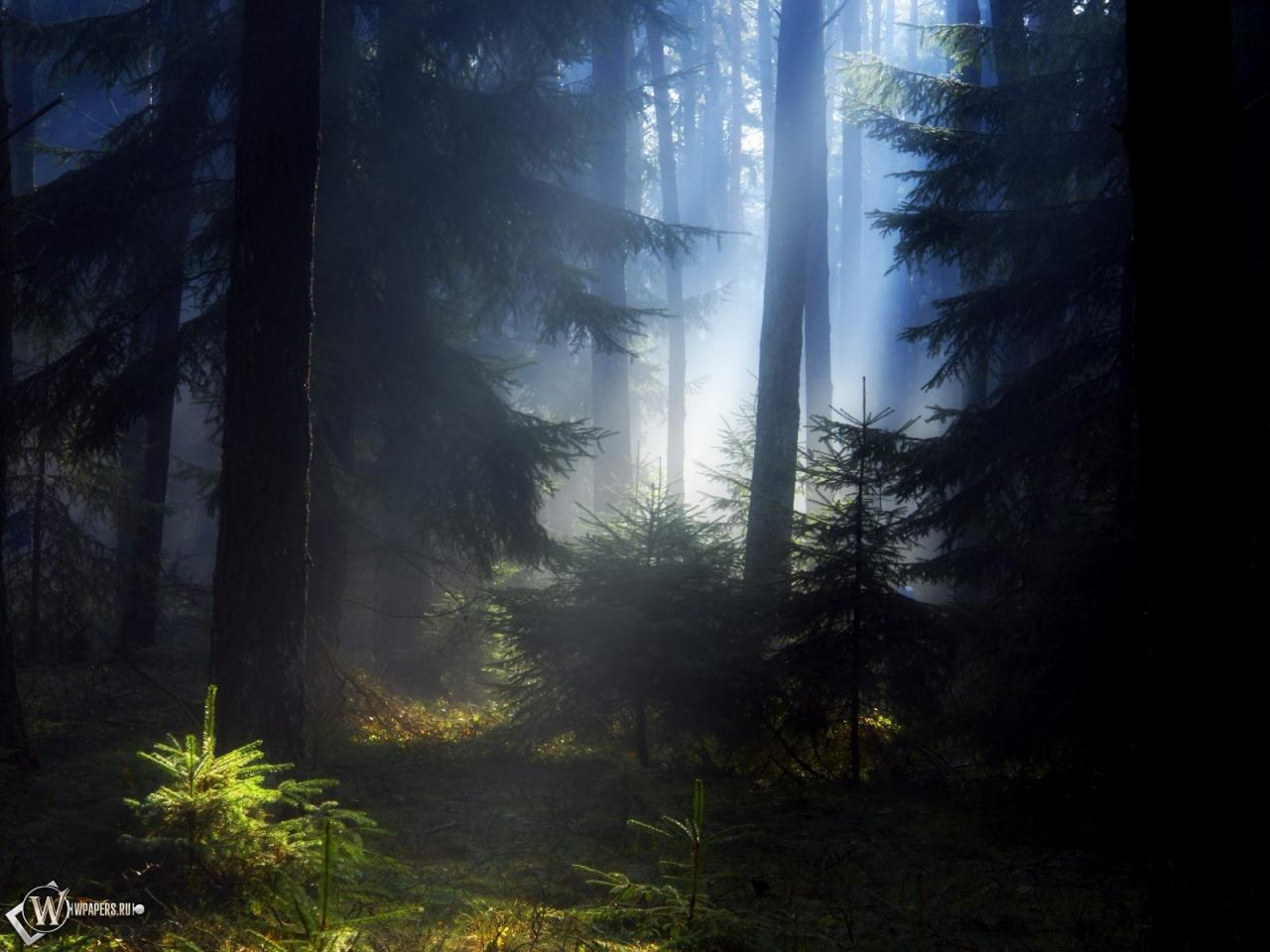Еловый лес 1280x960