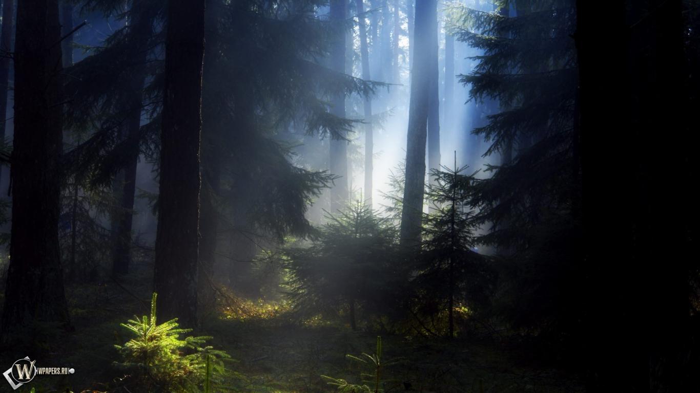 Еловый лес 1366x768