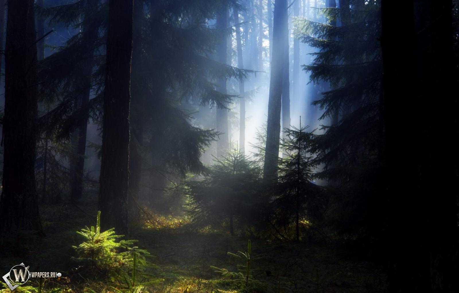 Еловый лес 1600x1024