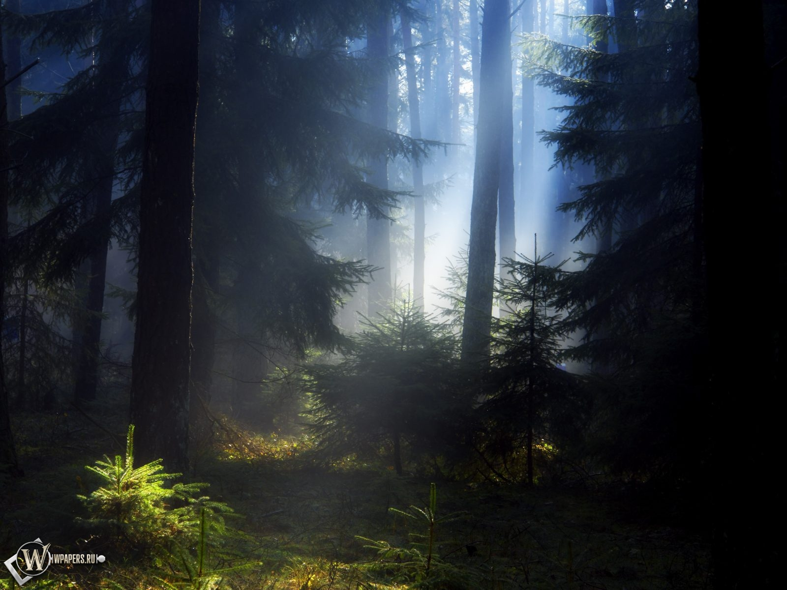 Еловый лес 1600x1200