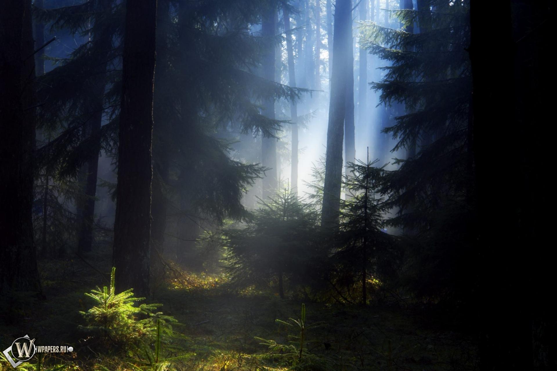 Еловый лес 1920x1280