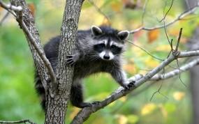Обои Енот на дереве: Природа, Дерево, Енот, Прочие животные