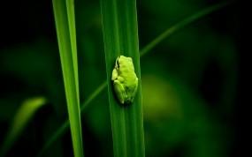 Обои Лягушка на листе: Растение, Болото, Лягушка, Животные