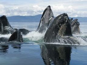 Обои Горбатый кит: Море, Кит, Животные