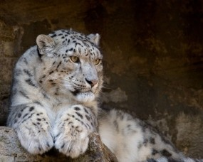 Обои Ирбис: Взгляд, Ирбис, Снежный барс, Тигры