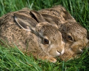 Обои Два кролика: Трава, Кролики, Животные