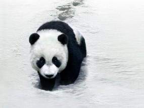 Панда на снегу