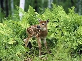 Обои Оленёнок: Трава, Лето, Оленёнок, Животные