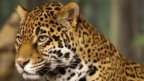 Обои Ягуар: Кошка, Ягуар, Пятна, Прочие животные