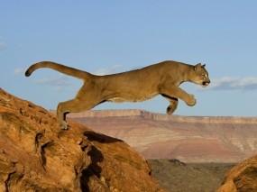 Обои Прыжок пумы: Хищник, Кошка, Прыжок, Пума, африка, Животные