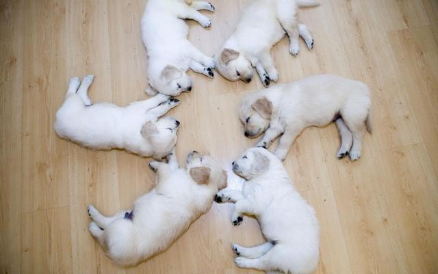Спящие лабрадоры