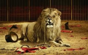 Обои Голодный лев: Лев, Злость, Кнут, Животные
