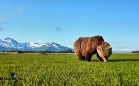 Обои Бурый медведь: Травка, Бурый медведь, Медведи