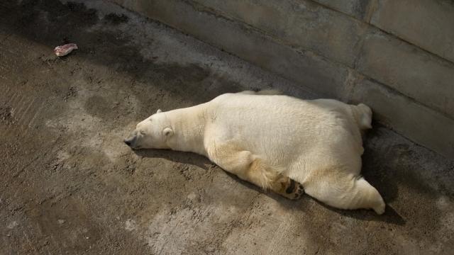 Белый медведь на отдыхе