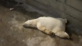 Обои Белый медведь на отдыхе: Белый медведь, Животное, Медведи