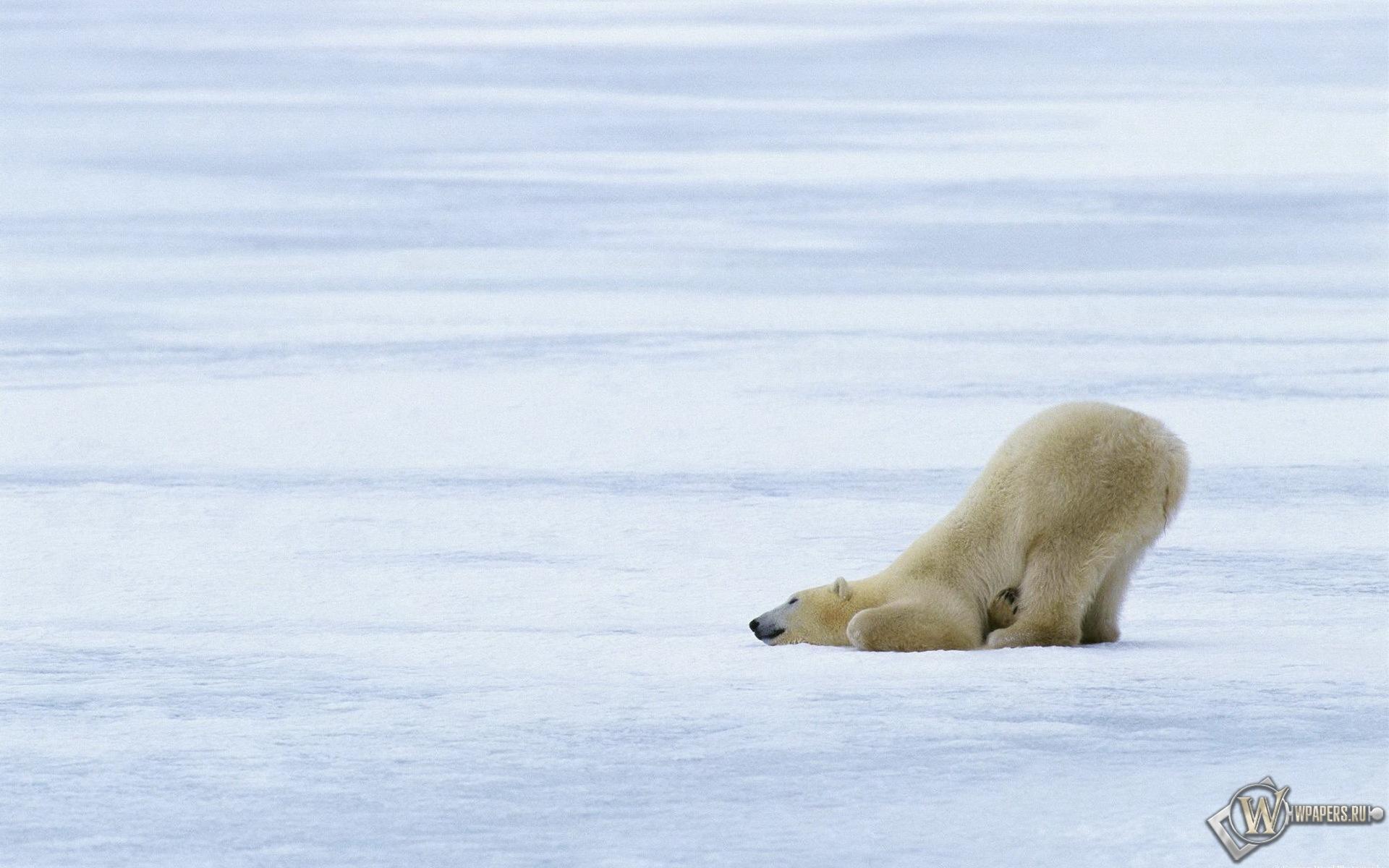 Белый медведь 1920x1200