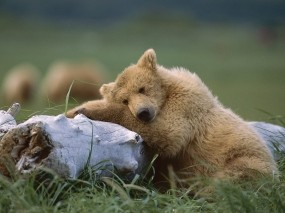 Обои Чуткий сон: Сон, Медведь, Медведи