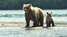 Обои Медведица и медвежонок: Река, Медведица, Медвежонок, Медведи