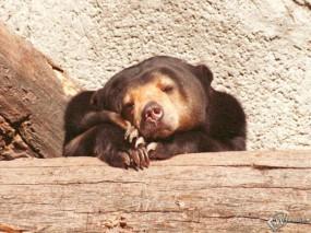 Обои Мишка спит: , Медведи