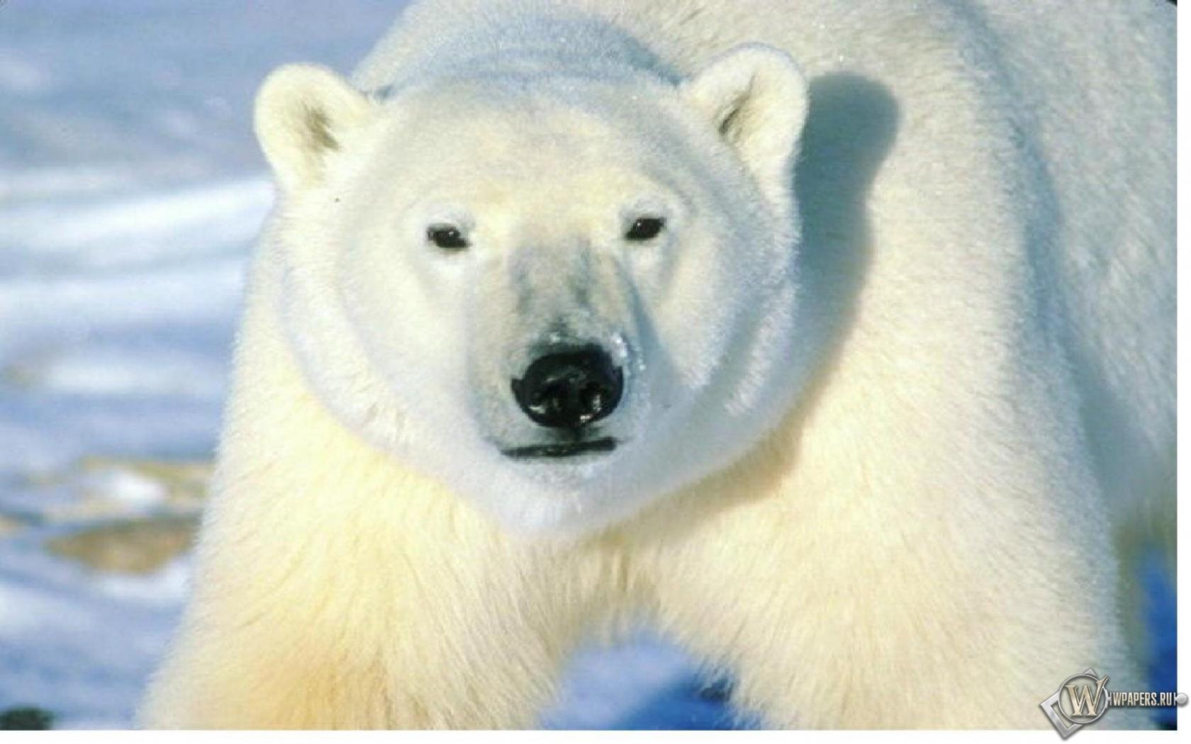 Полярный медведь 1680x1050