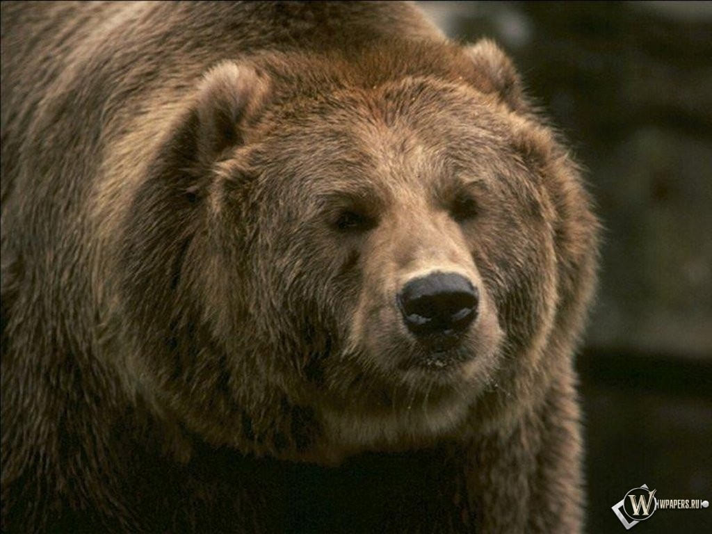 Бурый медведь 1024x768