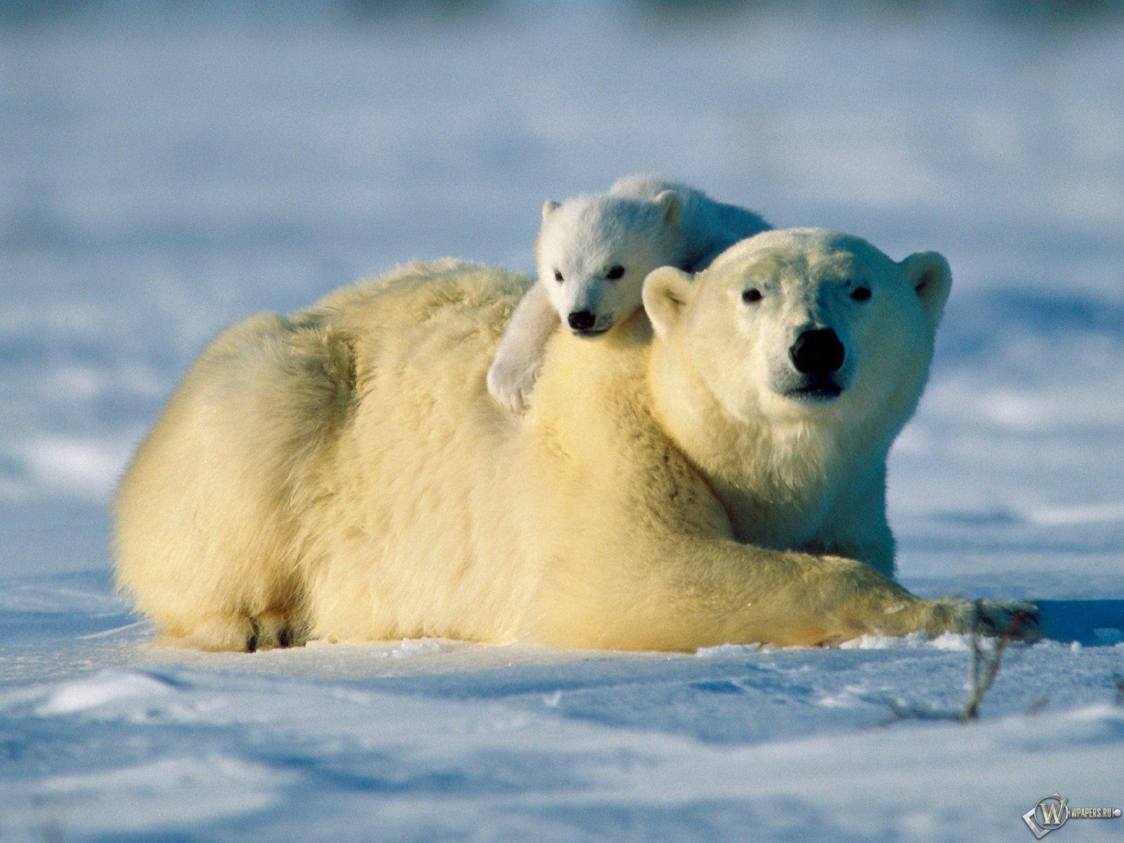 Белая медведица с медвежонком 1600x1200
