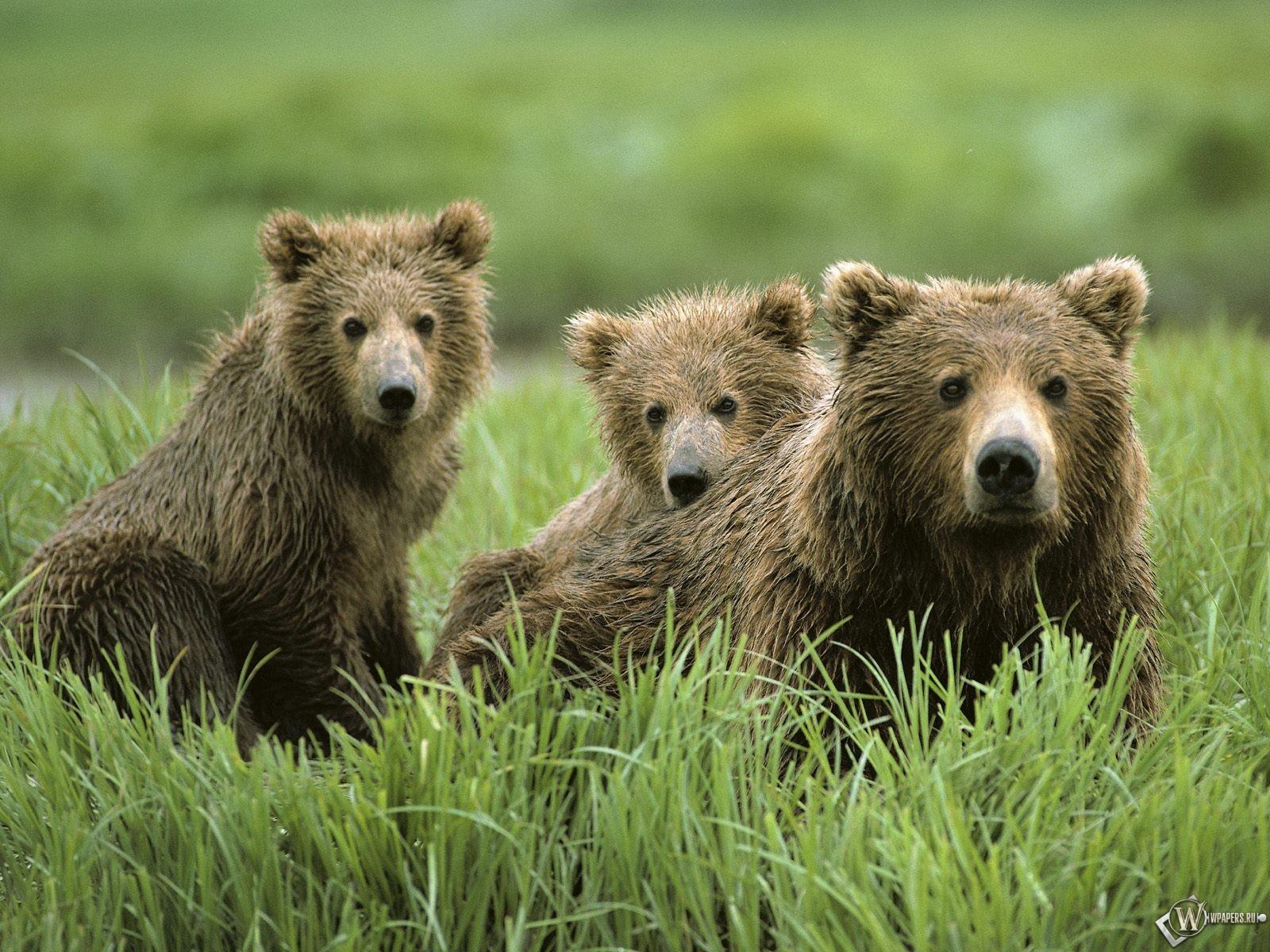 Три бурых медведя 1600x1200