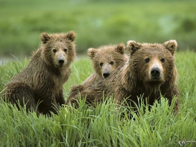 Три бурых медведя