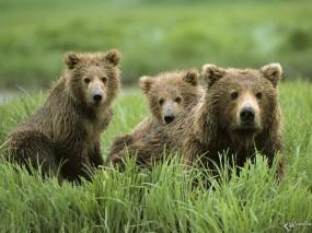Обои Три бурых медведя: , Медведи