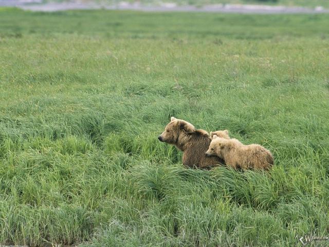 Два бурых медведя в поле