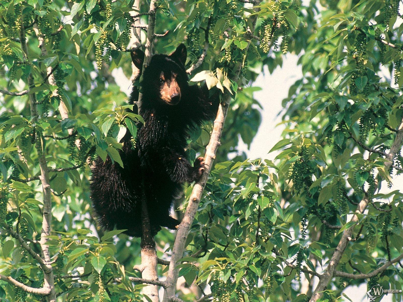 Медведь на дереве 1600x1200