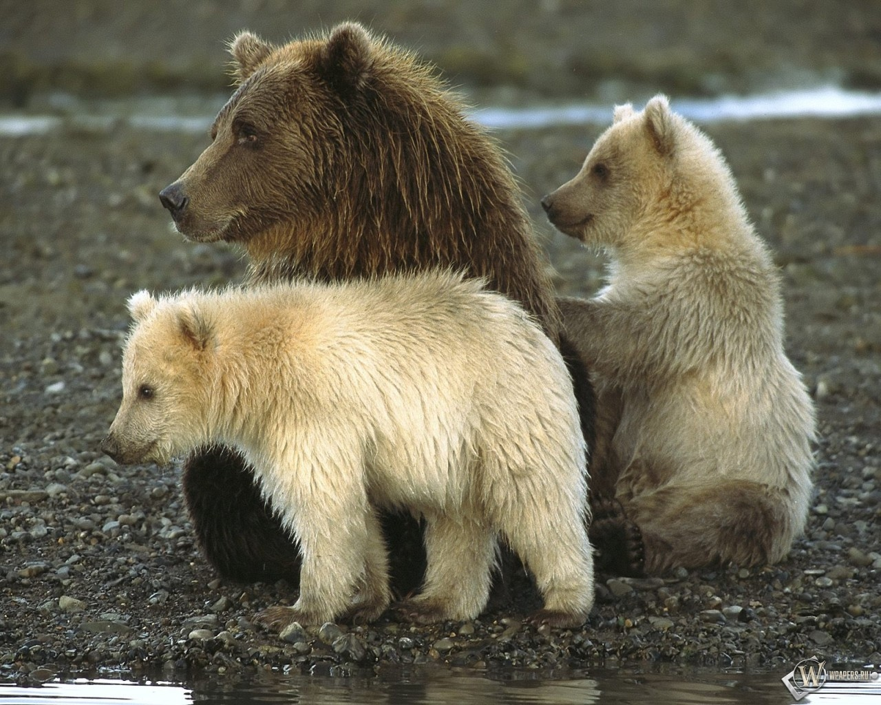 Медведи в Katmai National Park Аляска 1280x1024