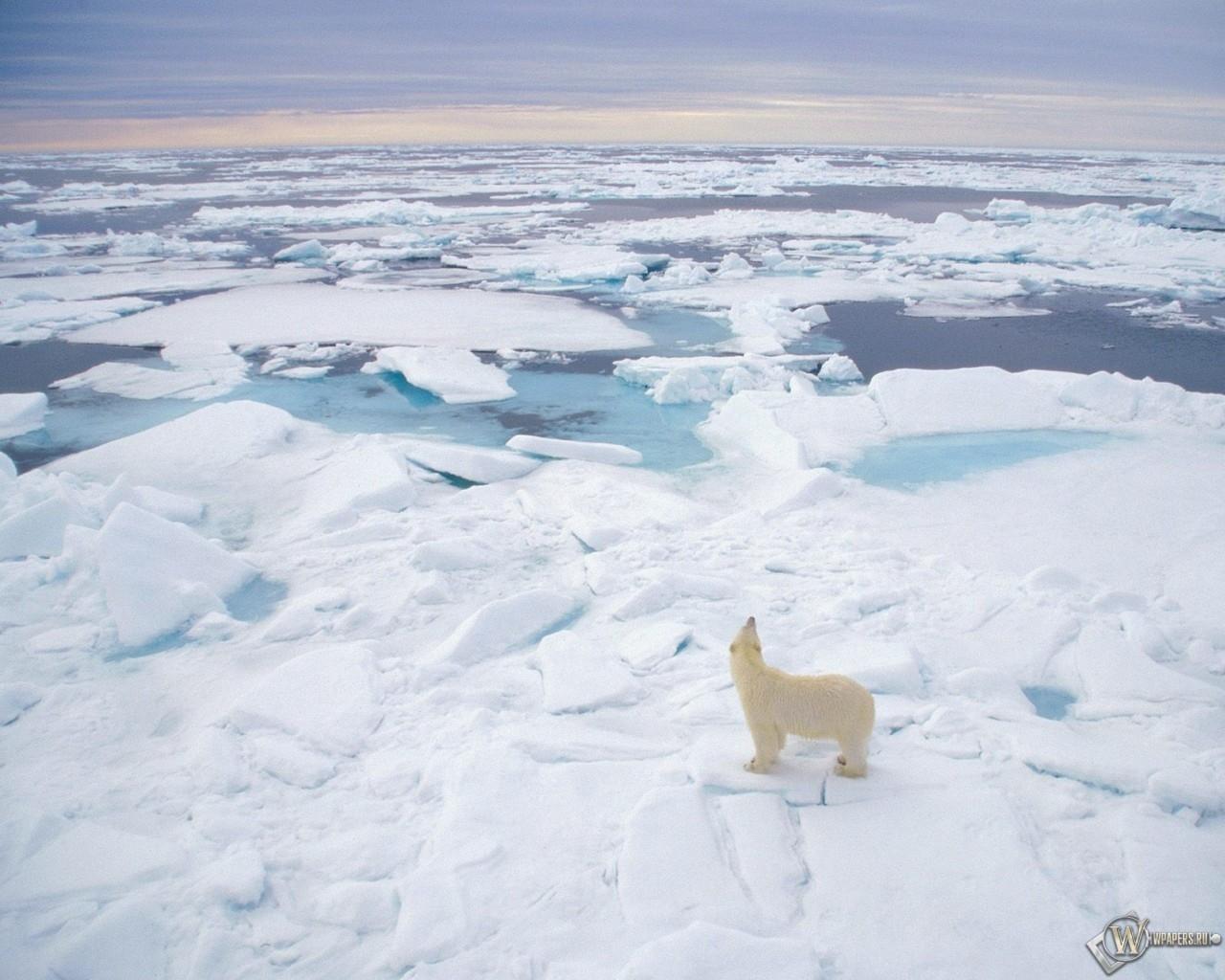 Полярный медведь (Svalbard Norway) 1280x1024