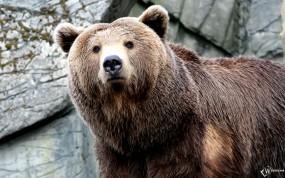 Обои Серьезный медведь: , Медведи