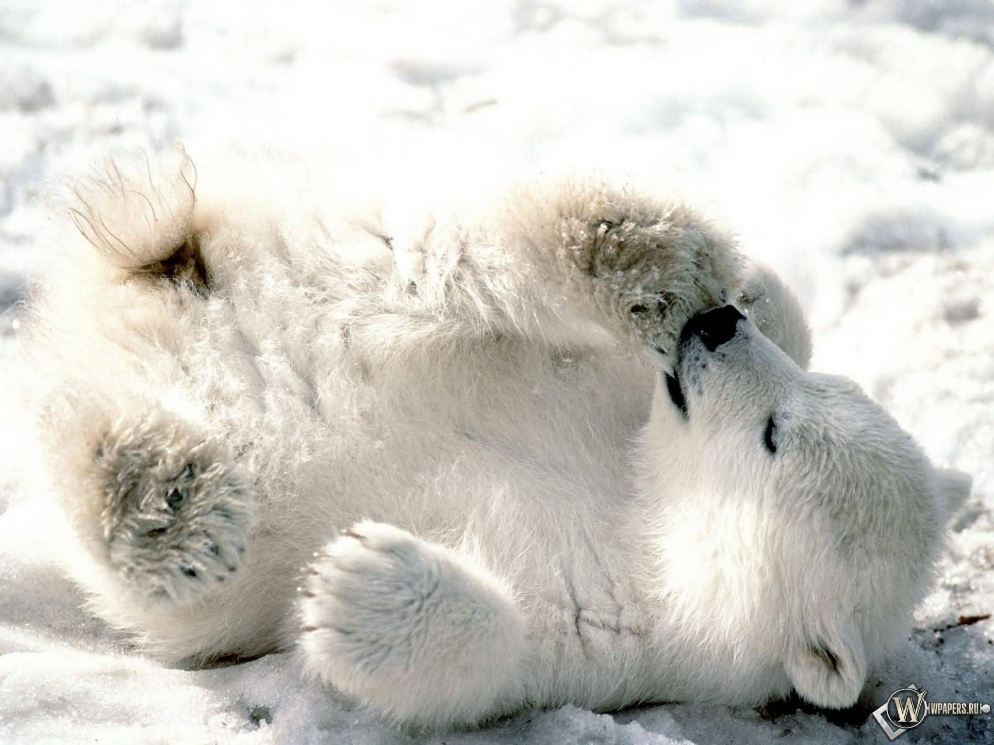 Белый медвежонок сосет лапу 2048x1536