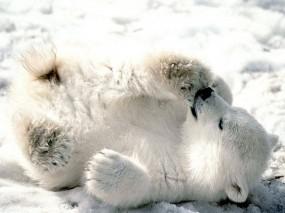 Белый медвежонок сосет лапу