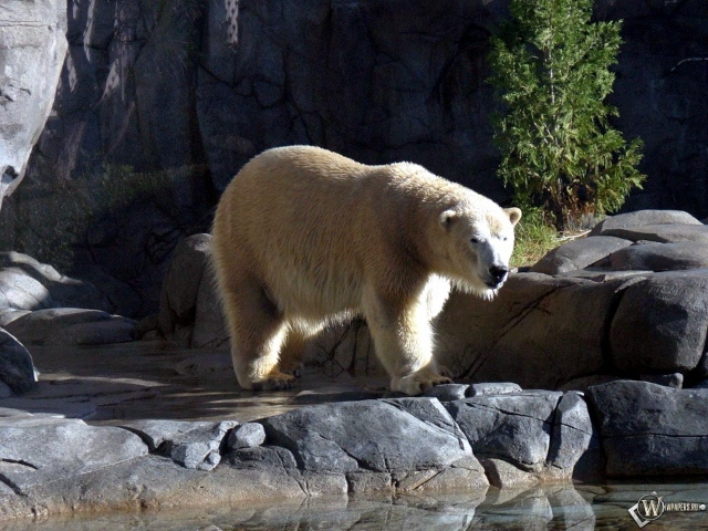 Белый медведь на камнях