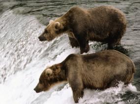 Обои Медведи у водопада: , Медведи