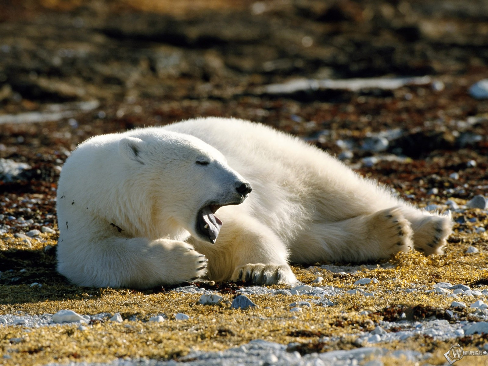 Белый медведь зевает 1600x1200