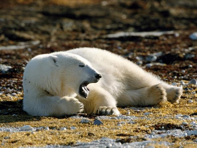 Белый медведь зевает