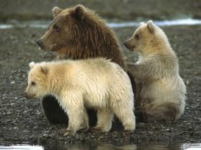 Обои Медведиха и медвежата: , Медведи