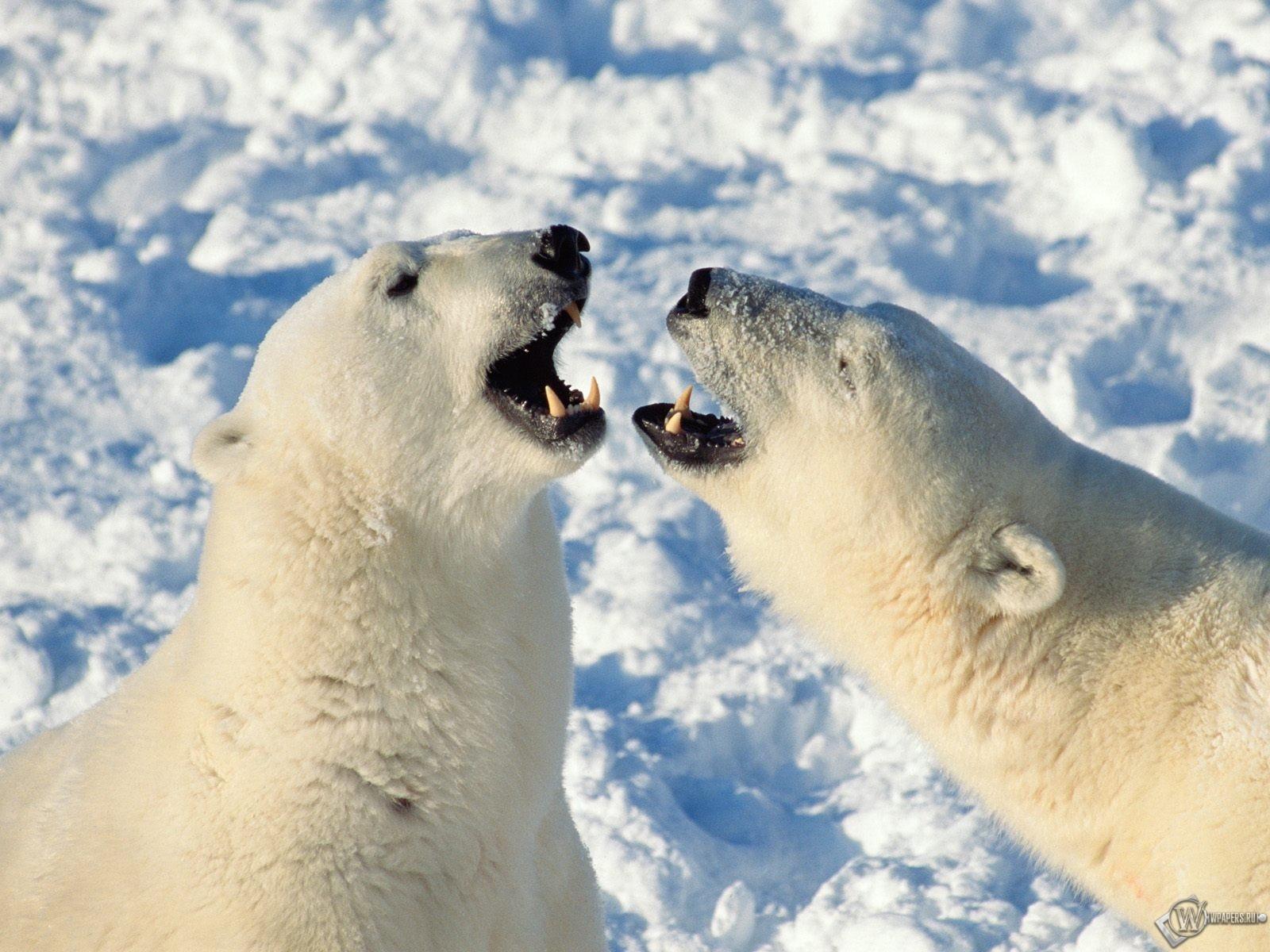 Белые медведи злые 1600x1200