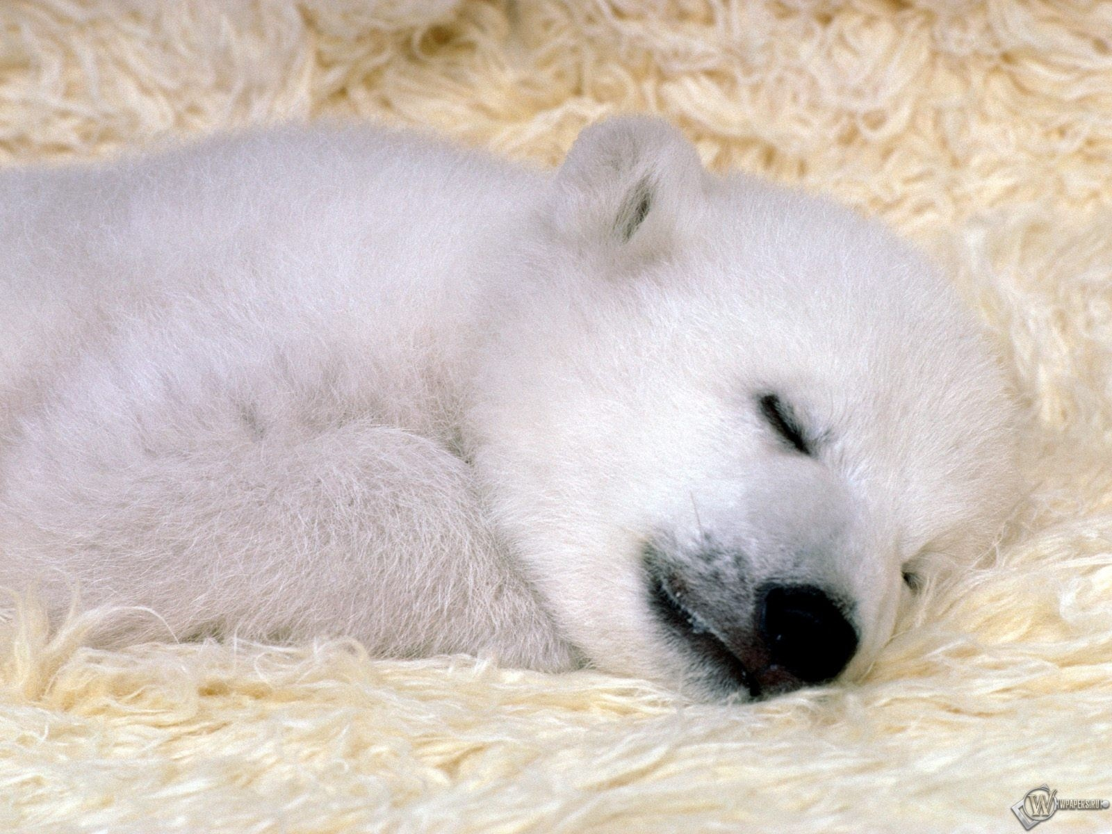Белый медвежонок спит 1600x1200