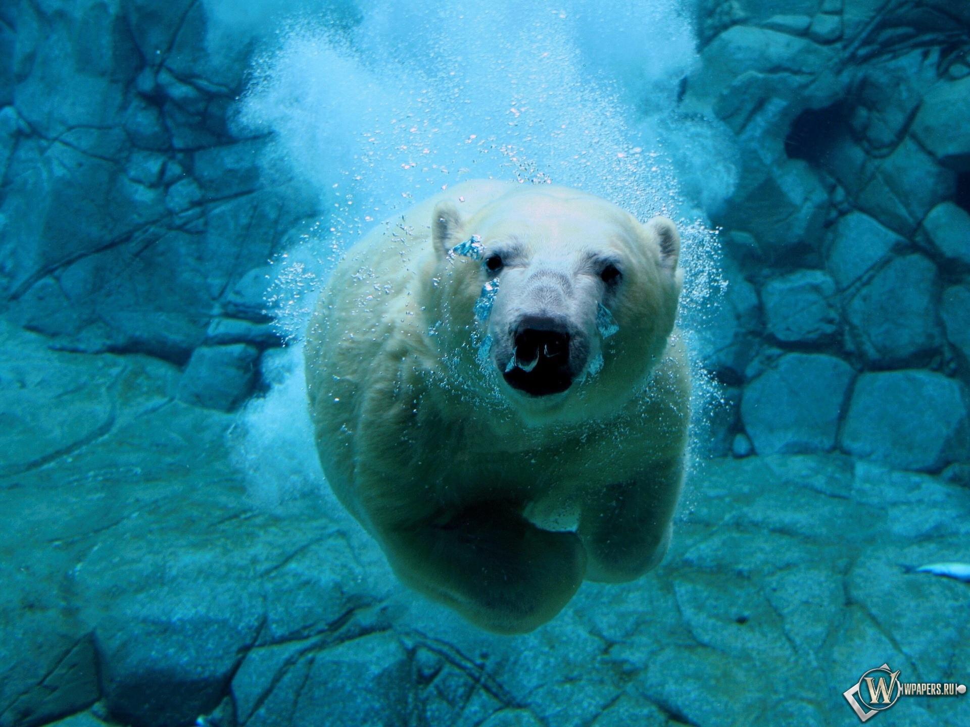 Белый медведь под водой 1920x1440