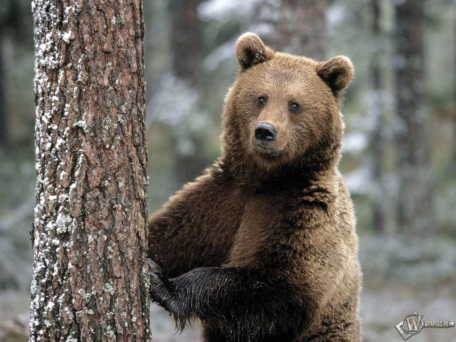 Медведь и дерево 1600x1200