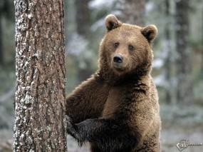 Обои Медведь и дерево: , Медведи