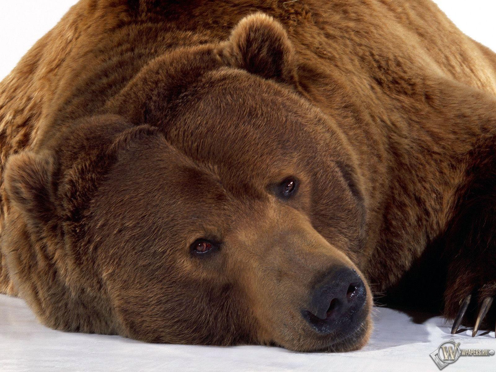 Уставший медведь 1600x1200