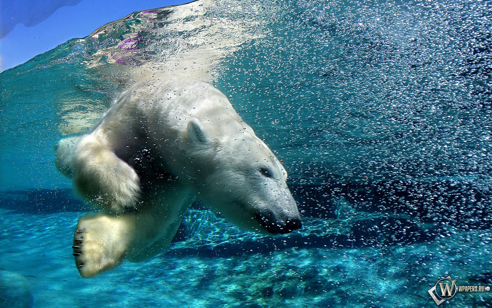 Белый медведь под водой 1920x1200